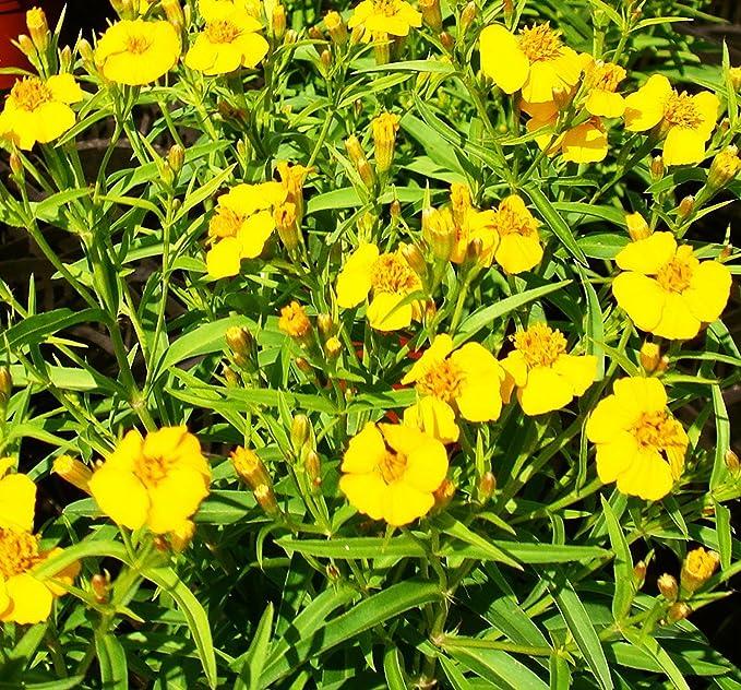 Mexikanisch Hut Blumen Frische Samen Präriezapfenblume