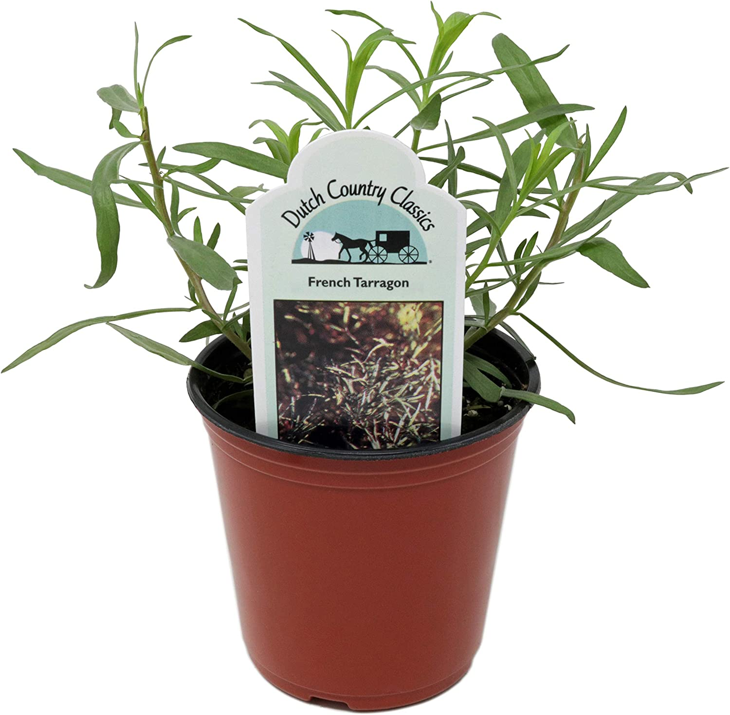 Dutch Country Classics Live French Tarragon Herb Plant Pack of 1