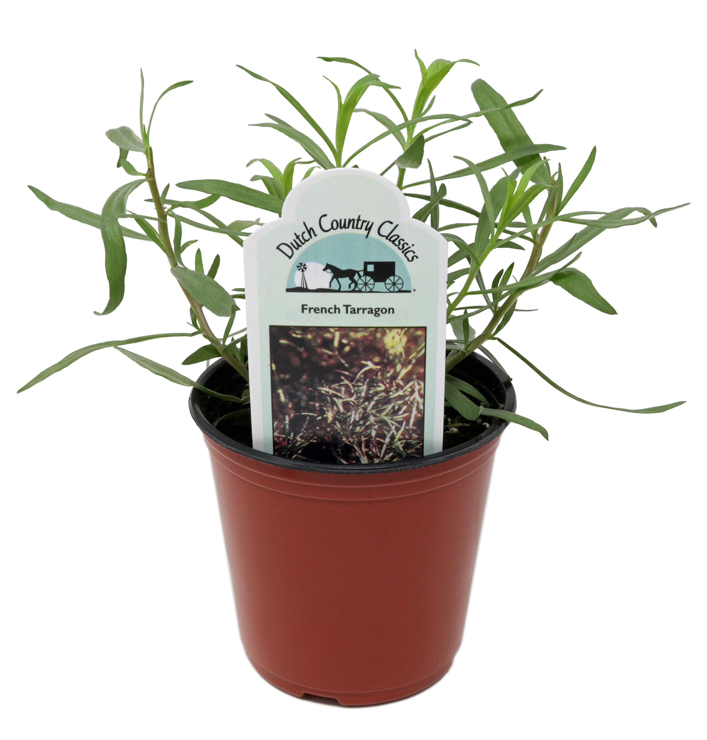 Tarragon 'French' Herb Plant (Pack of 6) by Dutch Country Classics (Image #1)