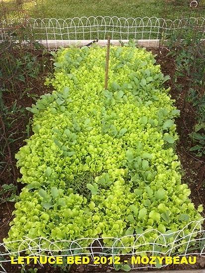 1,000 SEEDS NON-GMO Black Seeded Simpson Lettuce Seeds