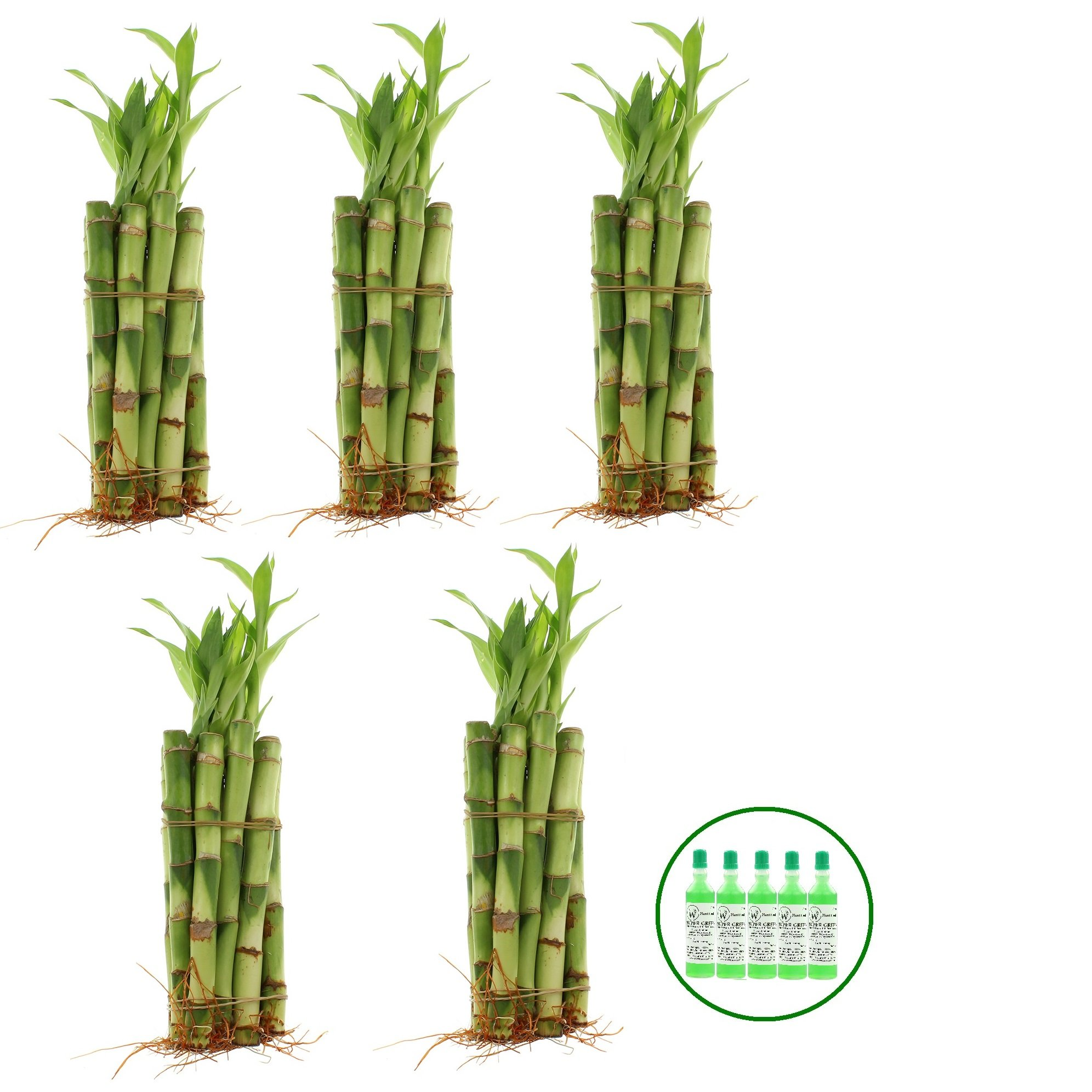 NW Wholesaler - Live Lucky Bamboo 6'' Straight Stalks w/ 5 Free Bottle of Super Green Lucky Bamboo Fertilizer (50) by NW Wholesaler (Image #1)
