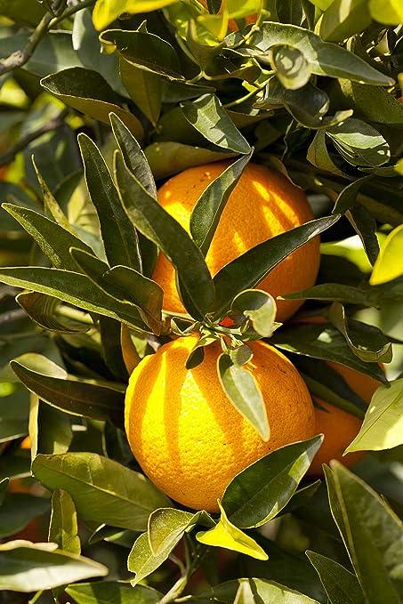 Amazon.com: Valencia naranja dulce Late Seedless: Jardín y ...