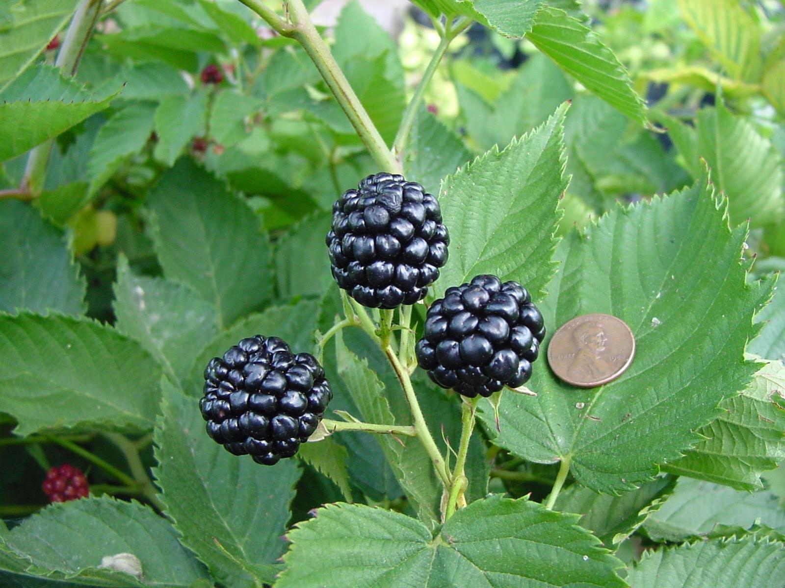 3 Starter Plants of Natchez BlackBerry Bush Live Plant New Rubus by Andryani (Image #1)