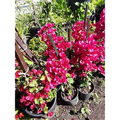 AchmadAnam - Live Plant - Bougainvillea Red to Pink - 1 Plant - 2 Feet Tall - Ship in 1 Gal Pot. E9 : Garden & Outdoor