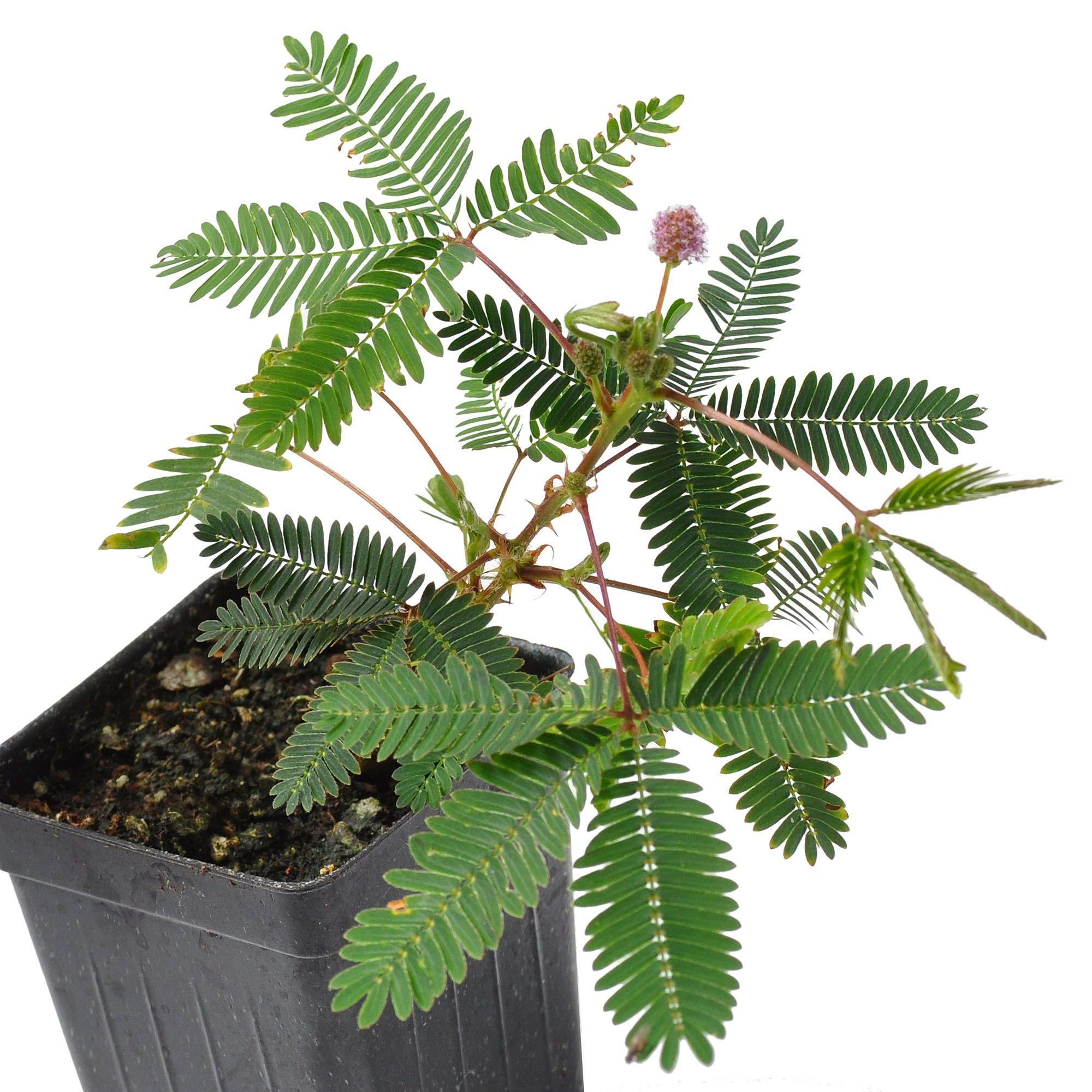 Mimosa pudica, Fairy Sensitive Plant