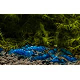 Blue Diamond Zwerggarnele (DNZ), 10 Stück