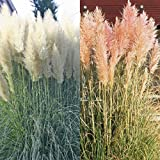 Pampasgras Kombination rosa und weiß - 2 pflanzen