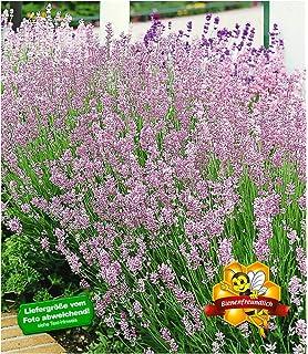 Baldur Garten Lavendel Phenomenal Duftlavendel Echter Lavendel 2