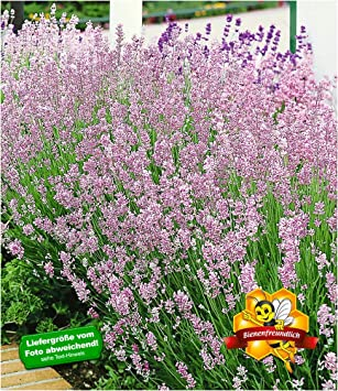 Baldur Garten Duft Lavendel Rosa Echter Lavendel 3 Pflanzen