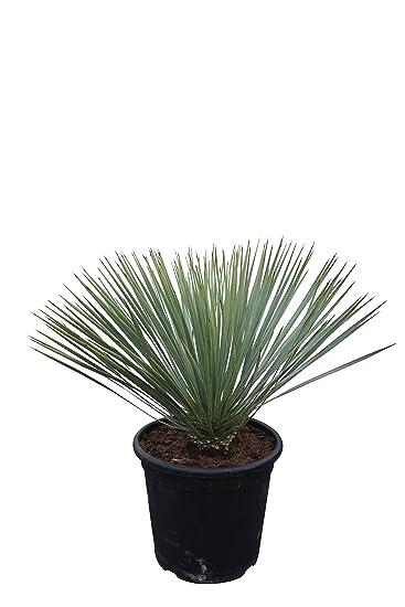 Yucca Rostrata 70cm: Amazon.de: Garten