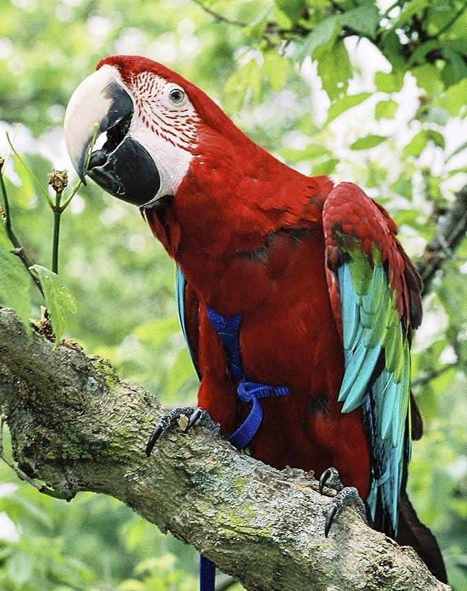 The AVIATOR El Arnés de Aves: X-Grande Rojo: Amazon.es: Productos ...