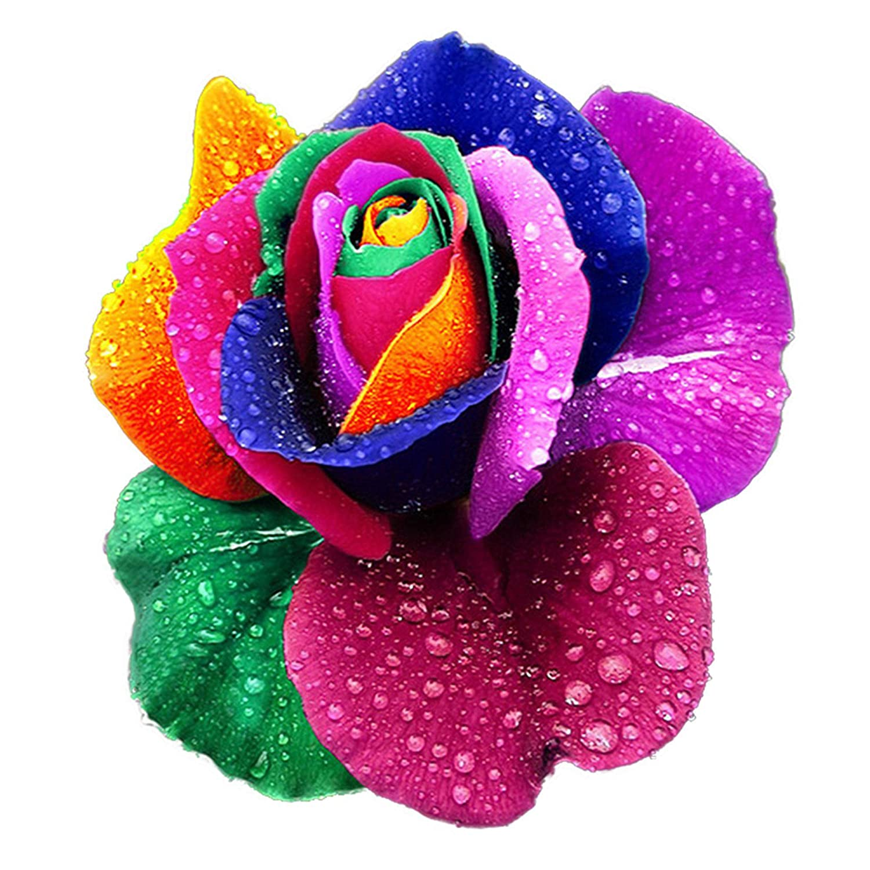 200pcs arc en ciel rose fleurs jardin multicolor graines rares. Black Bedroom Furniture Sets. Home Design Ideas