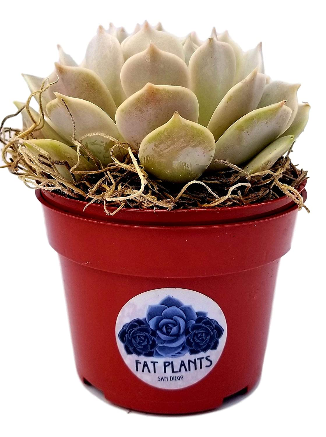 4 inch, Burgundy Pearl Fat Plants San Diego Live Echeveria Succulent Plant in a 4 inch Plastic Growers Pot