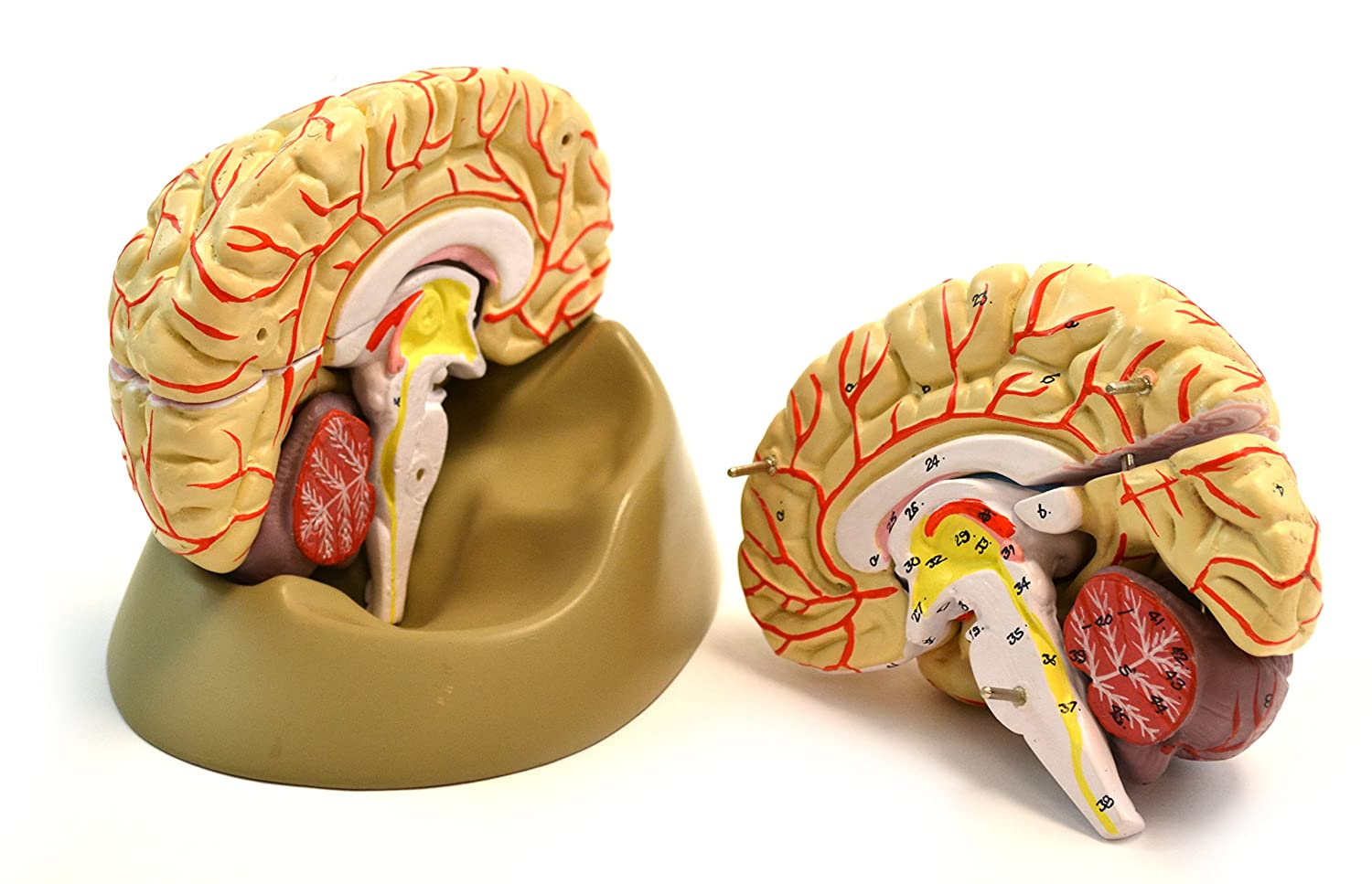 Eisco Labs Life Size Human Brain Model With Arteries 8 Parts With