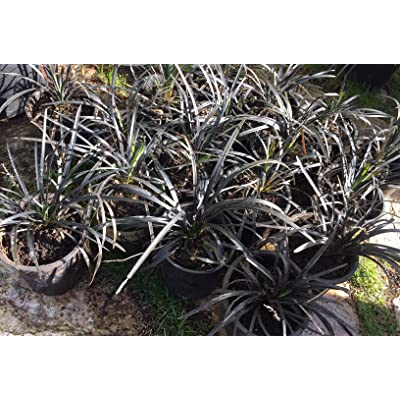 Jet Black Mondo Grass (Ophiopogon Planiscapus Nigrescens): 10 Mature Rooted Live Plants : Garden & Outdoor