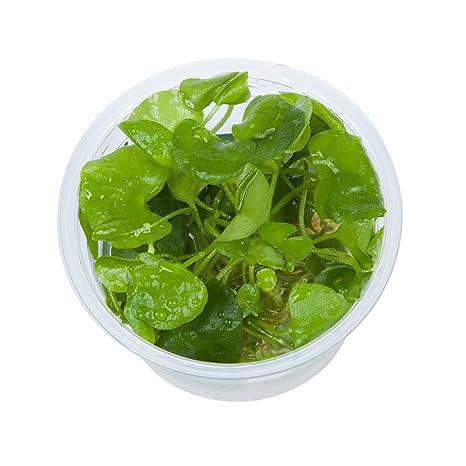 Tropica Nymphoides hydrophylla Taiwán 1 – 2-grow Tissue Culture in vitro planta para Acuario