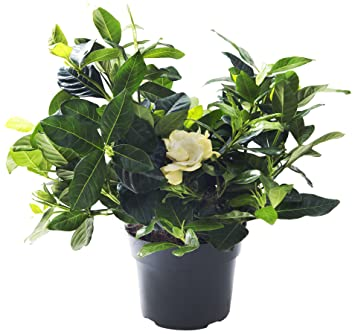KaBloom Gardenia Bonsai Tree In A 6 Inch Grow Pot   Indoor U0026 Outdoor Plant