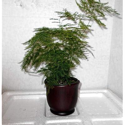 """AchmadAnam - Live Plant Fern Leaf Plumosus Asparagus Fern 4""""Pot Ceramic Brown Fertilizer Gift : Garden & Outdoor"""