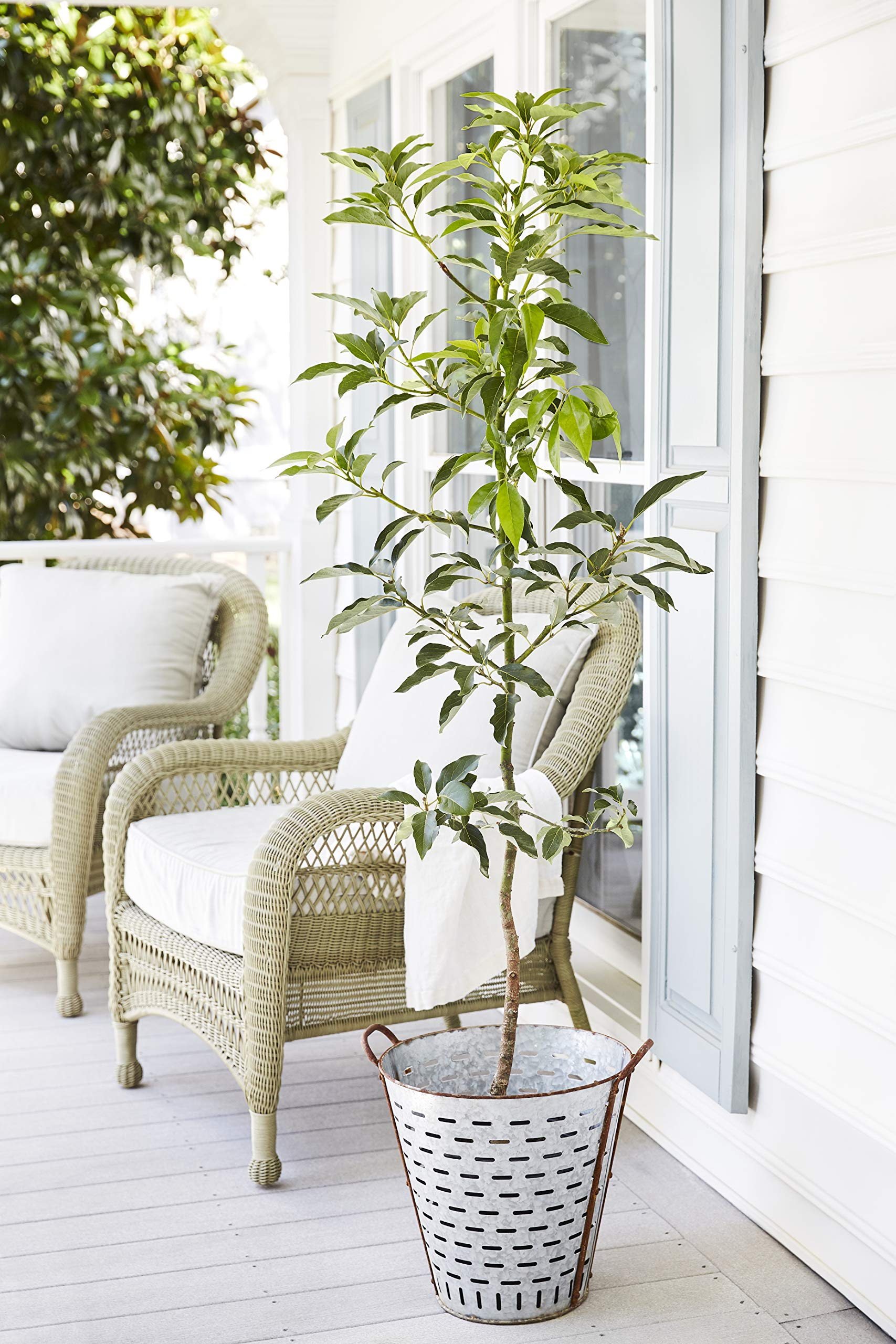 Cold Hardy Avocado Tree - (Mexicola Grande) - Get Delicious Avocados Year Round from This Fruit Tree by Brighter Blooms Nursery - 3-4 ft. by Brighter Blooms (Image #2)