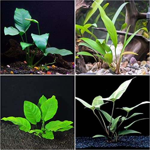 Anubias-Bundle-Easy-Low-Light-Aquarium-Plants
