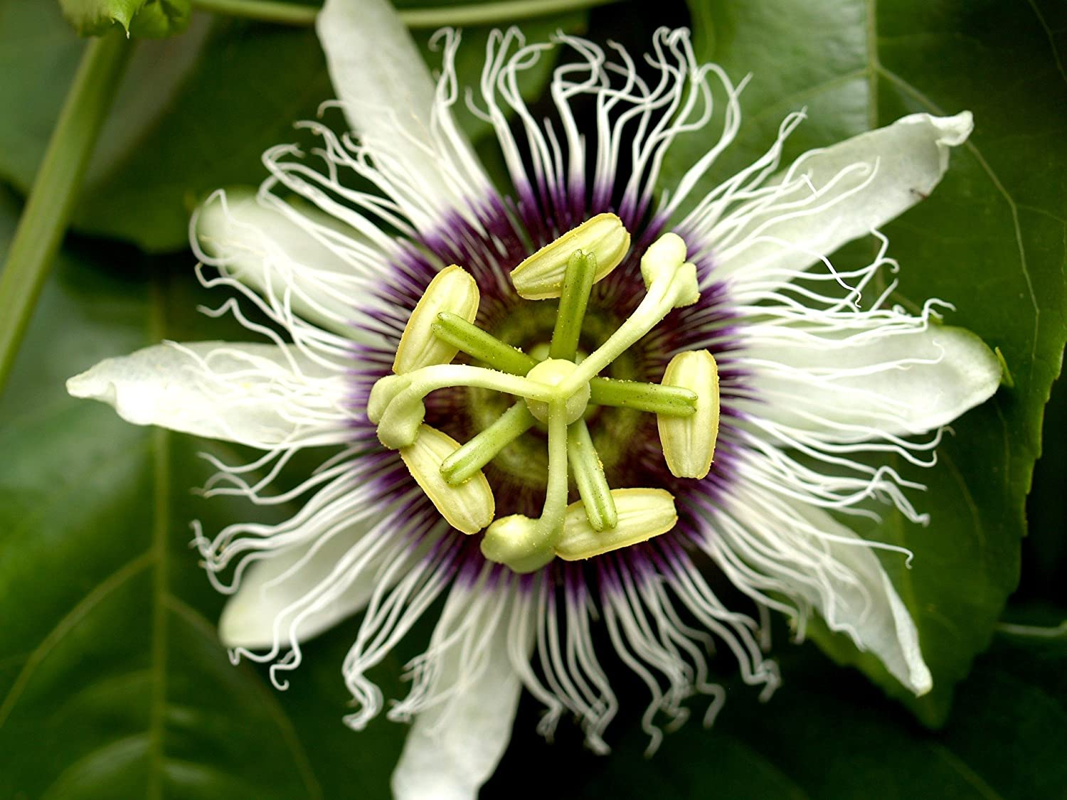 Amazon Passion Flower Passiflora Edulis Frederick Bears Edible
