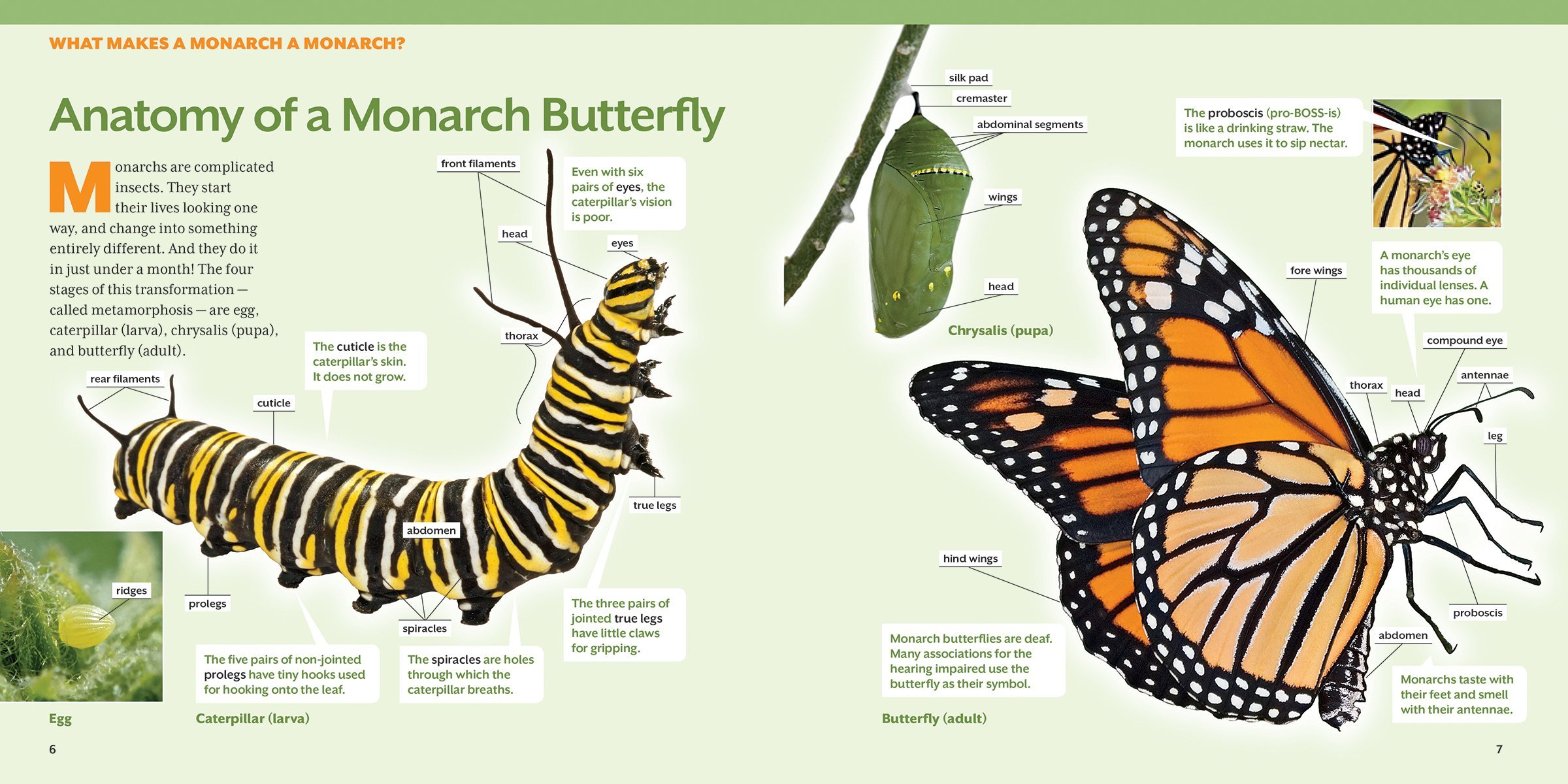 how to raise monarch butterflies a step by step guide for kids
