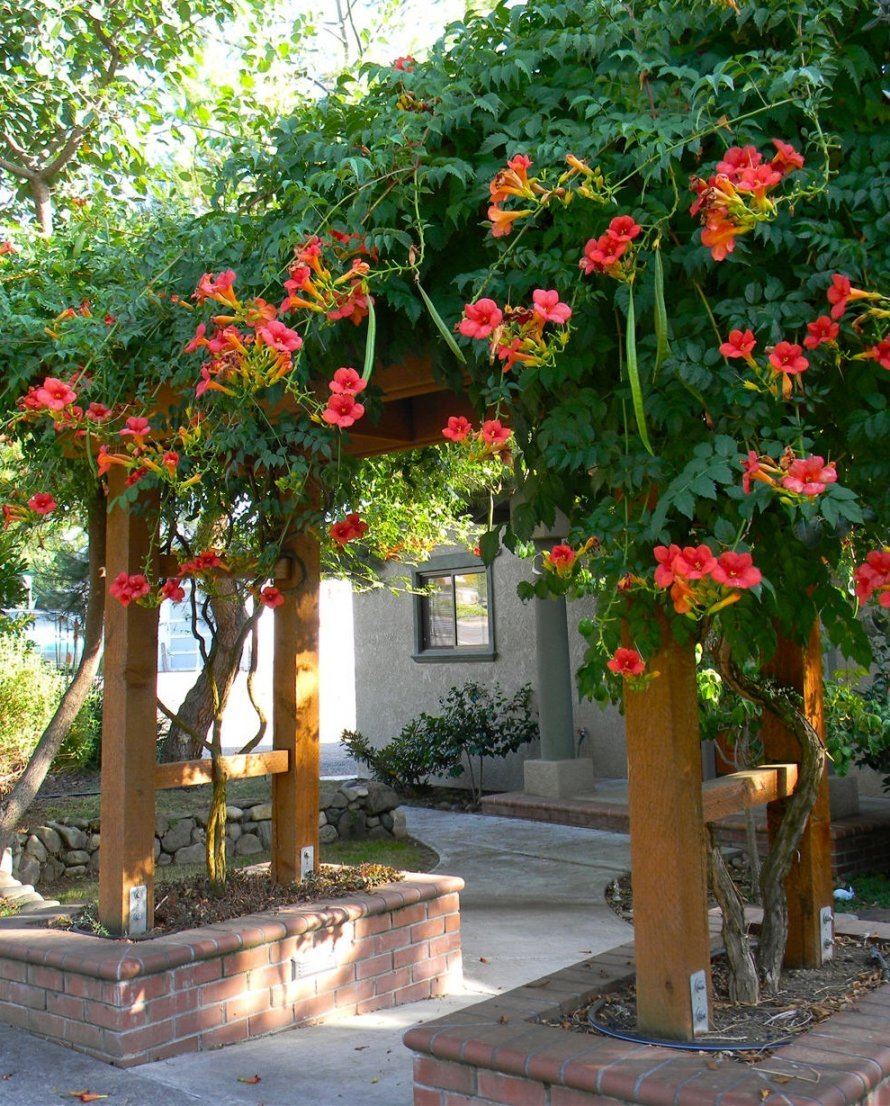 Red Trumpet Vine - Campsis x tagliabuana 'Madame Galen' - Prolific Bloomer - 3 Year Live Plant by Japanese Maples and Evergreens (Image #1)
