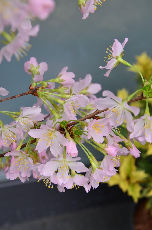 Japonés Cerezo ornamental Prunus kurilensis Rubí 60-80 cm de alto ...