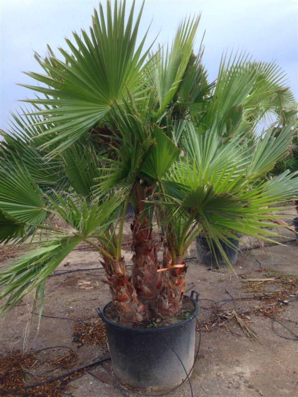 Riesige Washingtonia robusta mit 2-3 Stämmen. Zimmerpalme Gartenpalme 180-200 cm. Eine der schnellwachsendsten Palmen der Welt