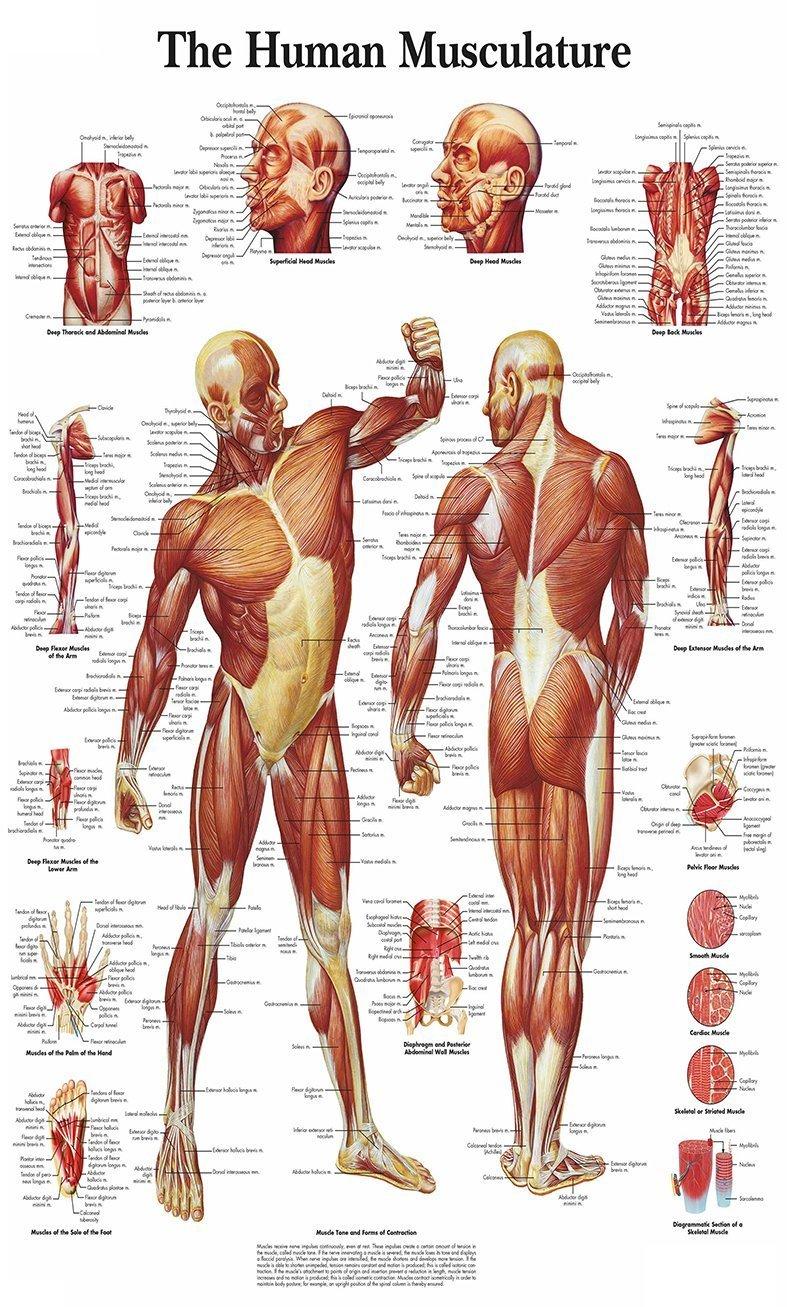 Chicbanners Medical Menschlicher Muskel Anatomie Diagramm Art Wand ...