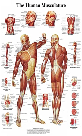 Chicbanners Medical Menschlicher Muskel Anatomie Diagramm Art Wand ...