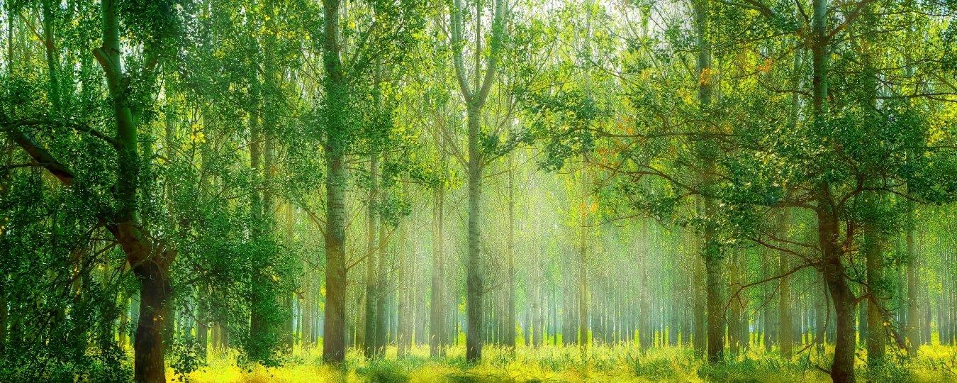 絵画風 壁紙ポスター (はがせるシール式) 新緑と紅葉の森林浴 森 森林 陽射し 日光浴 パノラマ 目の保養 癒し キャラクロ SNR-105P1 (パノラマ版 1440mm×576mm) 建築用壁紙+耐候性塗料 B077CT7FKN