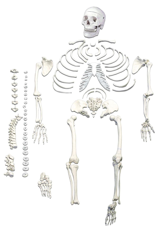Jackson Global Js00028 Disarticulated Human Skeleton 206 Total