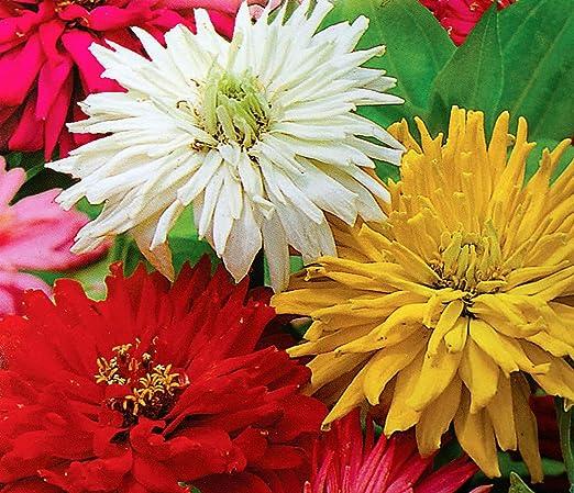 Crisantemo zinnia - mezcla de variedades - 120 semillas: Amazon.es: Jardín