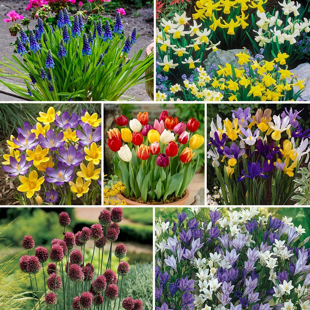 Complete Spring Flowering Bulb Collection 300 Bulbs In 7 Varieties