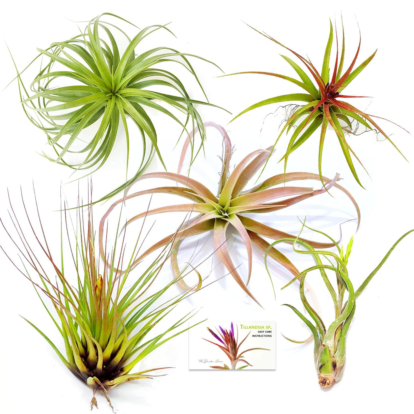 The Drunken Gnome AIR Plants - Assorted Variety Pack - 5 X-Large - air Purifying Flowering Tillandsia for Terrarium, Fairy Garden Starter kit, Home Office, Indoor Outdoor, Corporate Gift (5 X-Large)
