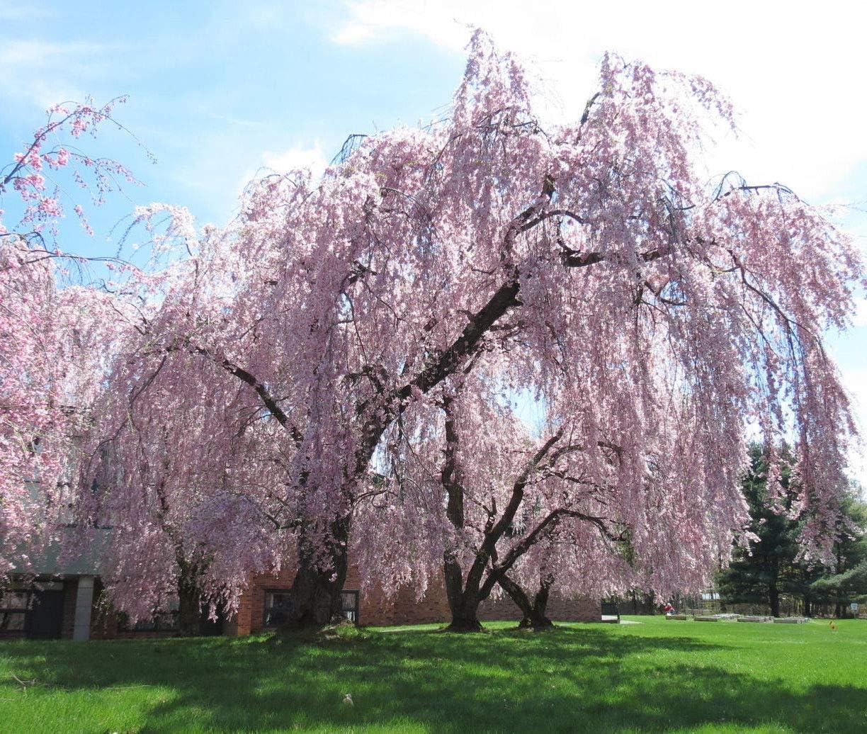 Pink Fountain Weeping Cherry Blossom Tree!Beautiful Garden Tree Even Bonsai!