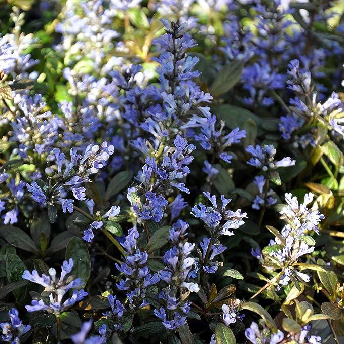 3 CHOCOLATE AJUGA LIVE PLANTs Bugleweed Perennial BARE ROOT