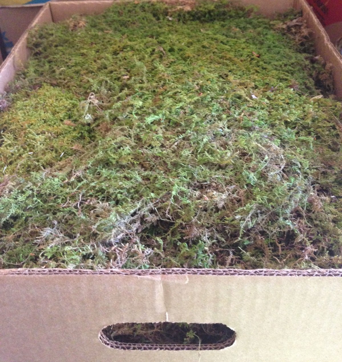 Sheet Moss 5lbs (Banana Box) by Energi8