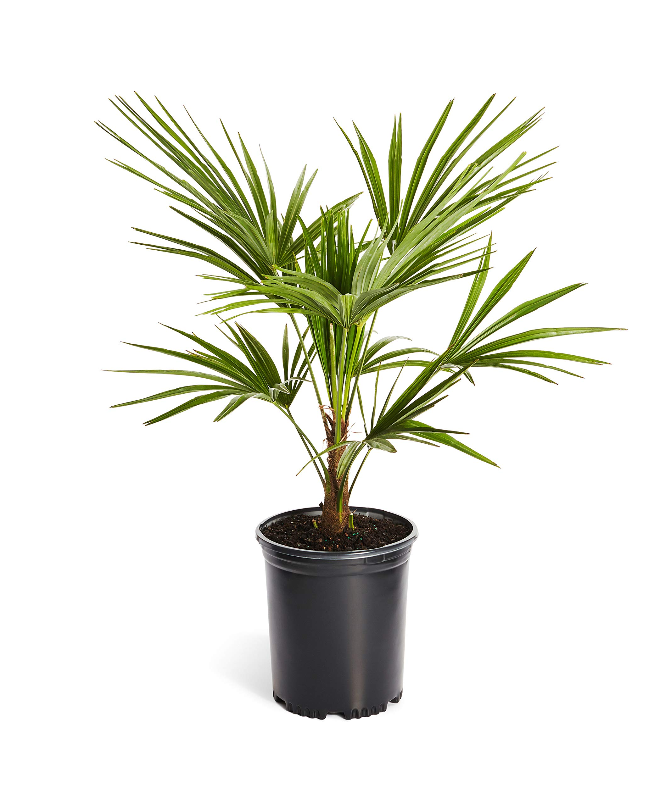 Windmill Palm Tree- Large Cold Hardy Palm Trees- Trachycarpus Fortunei- Big 1 Gallon or 3 Gallon Palms Available - 3 Gallon