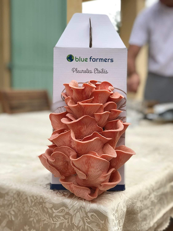 Regalo Original /… Kit sorpresa de ostras hambrientas Kit de setas de ostras rosas Grises Cultivo de hongos Blue Farmers amarillas o grises Hecho en Francia Crece en 10 d/ías