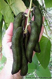 PLAT FIRM SEMILLAS DE GERMINACION: 20 semillas: frijol terciopelo (Mucuna pruriens), semillas de cultivar sin picazón semillas de cultivar sin picazón PC STURDY