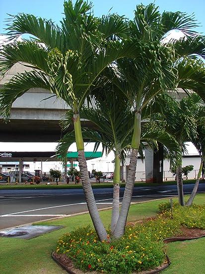 Amazon Com Christmas Palm Tree Adonidia Merrilli 100 Live Seeds