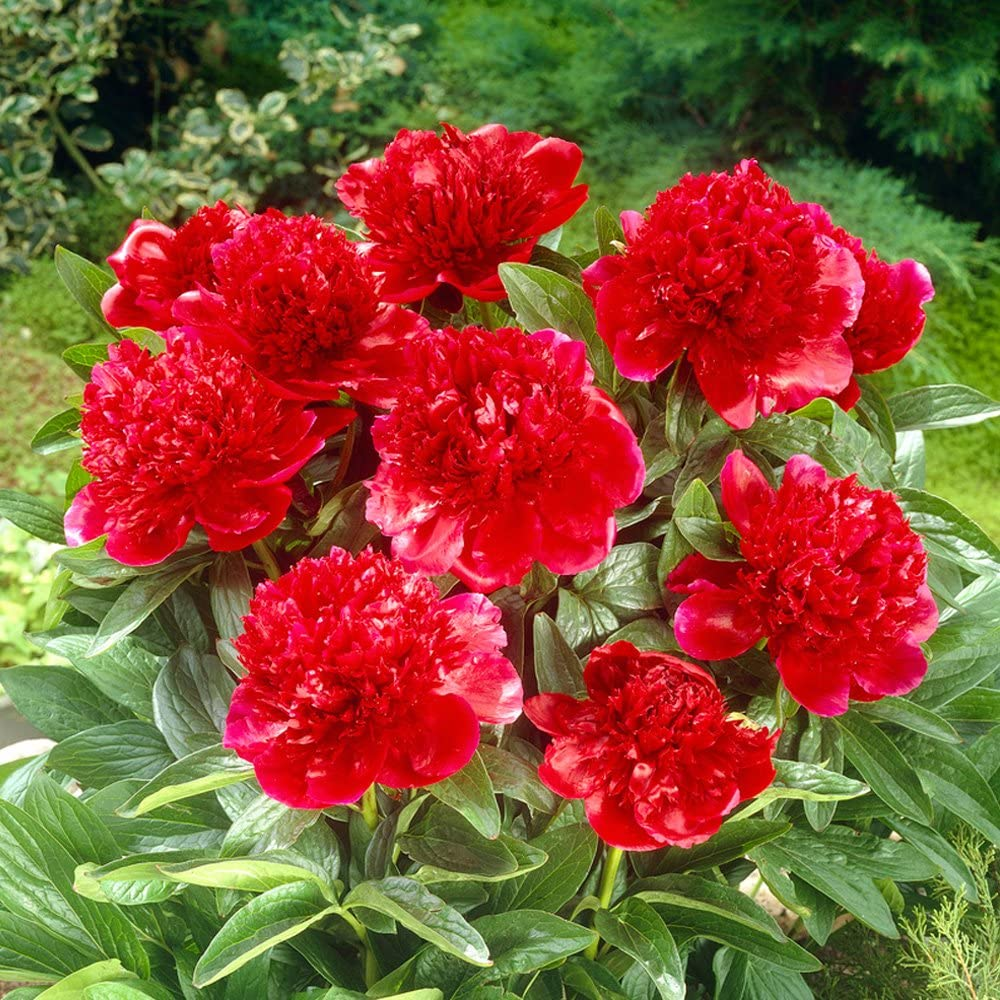 Amazon Com Bloomsz Red Charm Peony Roots Plant 3 Pack Garden