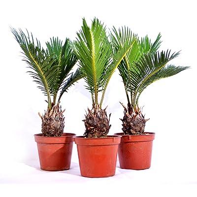 9Greenbox Japanese Sago Palm, Cycas Revoluta, 15.9 Ounce (Pack of 3): Grocery & Gourmet Food