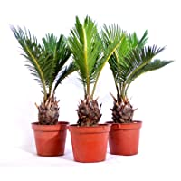 Deals on 3-Pack 9Greenbox Japanese Sago Palm Cycas Revoluta 15.9 Ounce