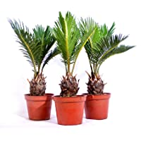 3-Pack 9Greenbox Japanese Sago Palm Cycas Revoluta 15.9 Ounce