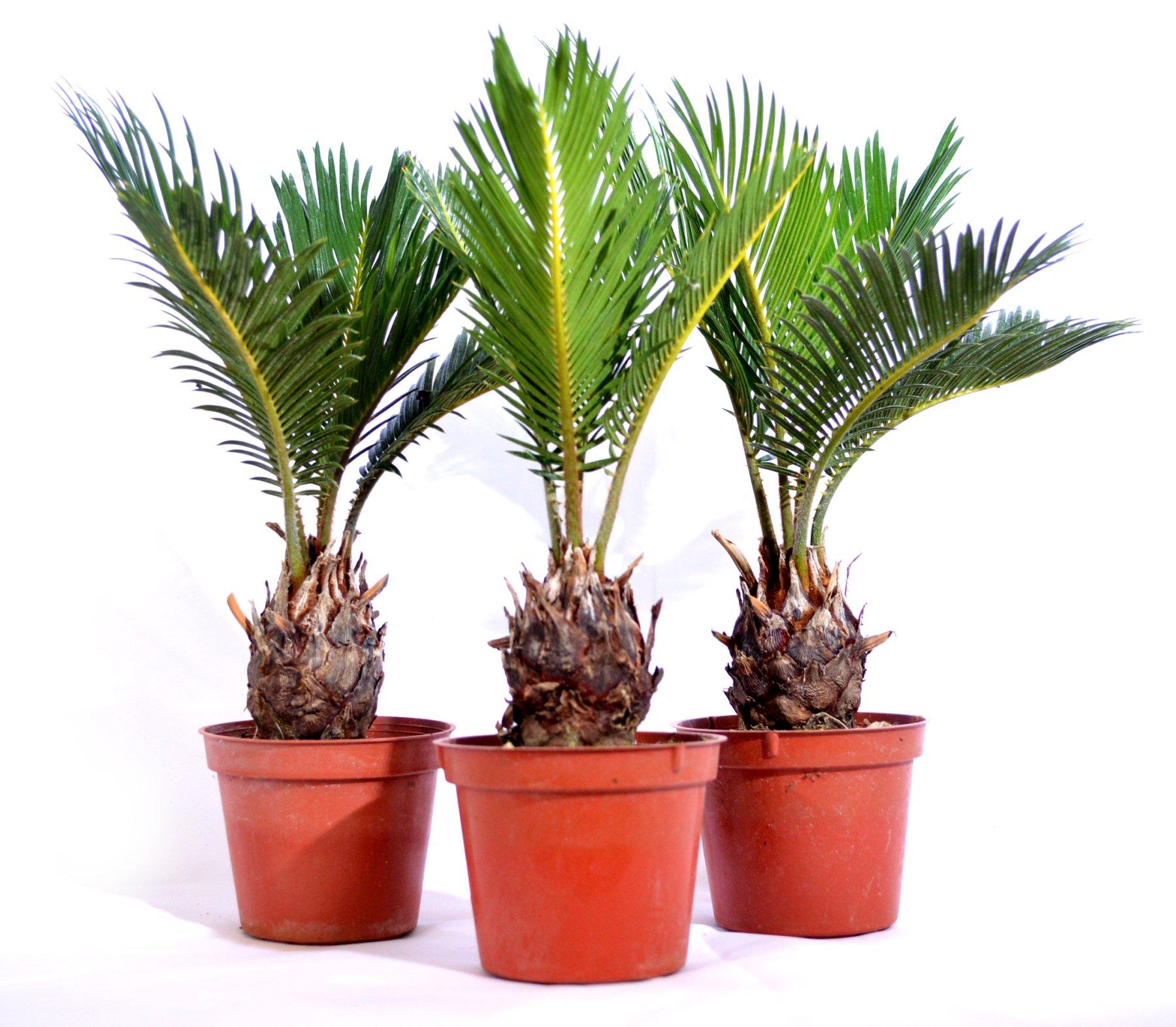 9Greenbox Japanese Sago Palm, Cycas Revoluta, 15.9 Ounce (Pack of 3)