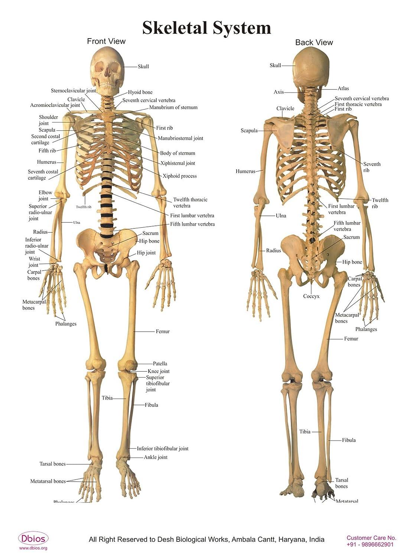 Dbios Digitaldruck Laminiertes Poster Skelettsystem Educational