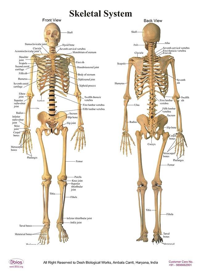 Dbios Digitally Printed Human Front Back Skeletal System Poster